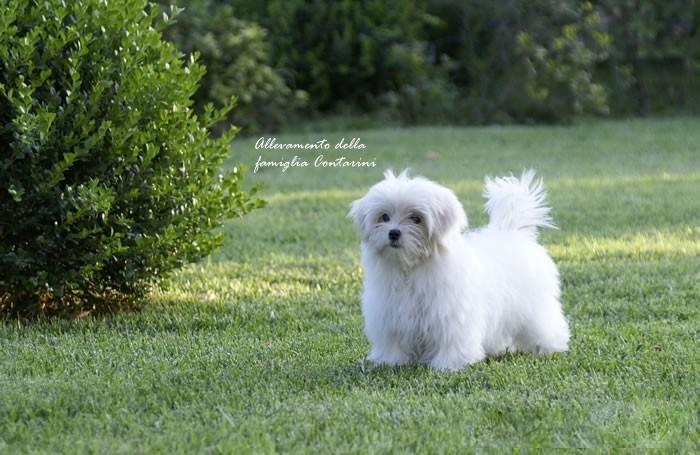 Le caratteristiche della razza maltese for Cane razza maltese